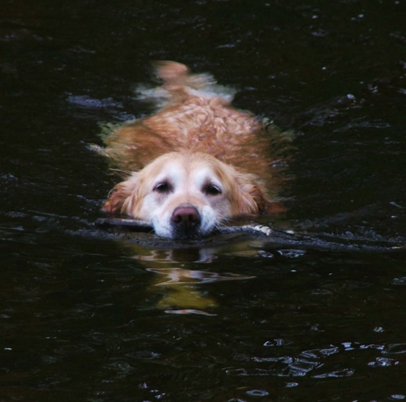 Lab in the Water